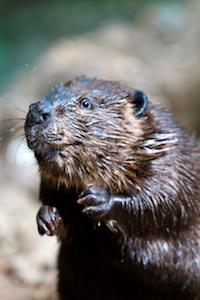 Dramatic Beaver